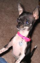 Curious Miniature Chihuahua